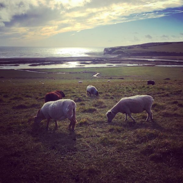 Cuckmere Sheep